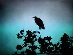 Heron, Night, Photography, Animals, Photograph, Animales, Animaux, Herons, Fotografie
