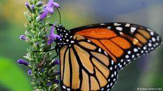 Der orange-rote Monarchfalter