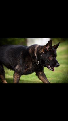Aron http://vombanachk9.homestead.com/stud_dogs.html
