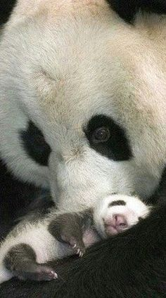Mama panda with its baby