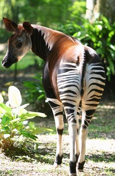 Okapi - my daughter-in-law's favorite animal, she's got a great collection of toy ones & drawings