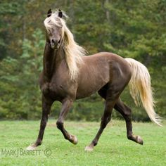 Brown horse :: Rocky Mountain Horse stallion