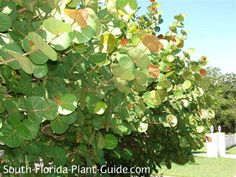 Sea Grape Coccoloba uvifera The unusual texture of sea grape, with its big rounded leaves on upright branches, makes it an interesting and handsome large shrub for a South Florida landscape.