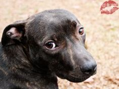 Ruby Pearl is an adoptable American Staffordshire Terrier Dog in Atlanta, GA. Ruby Pearl is ready to play any time, all she needs now is a loving home where can play and rest with her people. Ruby is ...