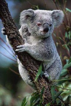 Koala on eucalyptus branch Funny Animal Pictures, Cute Funny Animals, Cute Baby Animals, Animals And Pets, Cute Koala Bear, Koala Bears, Wild Animals Photography, The Wombats, Australia Animals