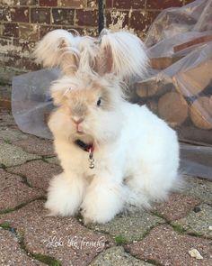 Loki my lovely baby english angora rabbit