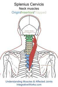 Understanding Trigger Points - Neck-ache headache, eye-ache that creates irritation and anxiety. Reflexology Massage, Neck Massage, Health And Fitness Magazine, Health Fitness, Trigger Point Therapy, Muscle Anatomy, Massage Benefits, Massage Tips, Headache Relief
