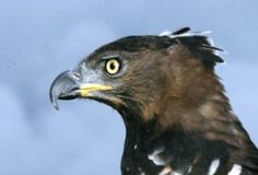 Stephanoaetus coronatus  |African Crowned Eagle Falconry
