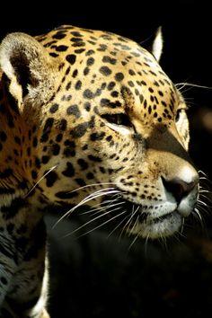 Panthera Onca o Jaguar es el gato más grande de las américas y son excelentes trepadores #endangeredanimals