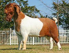Able Acres -Hammer Time- Boer Goat- #babygoatfarm