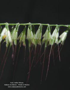 Aegopogon | Aegopogon tenellus (DC.) Trin.