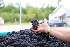 Pinot Noir Harvest at Lighthall Winery, Prince Edward County, Ontario, Canada