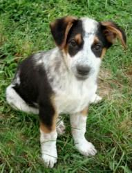 PUPPY MITCH is an adoptable Australian Cattle Dog (Blue Heeler) Dog in Sussex, NJ. Mitch is an adorable Blue Heeler/Border Collie mix puppy. He is a very sociable, happy puppy, about 11 weeks old on 5...