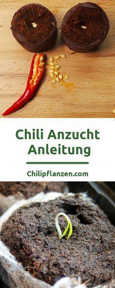 In dieser Anleitung für die Anzucht von Chilis erfahren Sie, wie einfach dies ist. Chilis, Peperoni und Habanero können Sie selber aus Samen züchten. Chilisamen, Anzucherde und ein Mini-Gewächshaus reichen für den Anfang aus. Einzige Schwierigkeit ist, dass Chili-Samen eine Keimtemperatur von etwa 25 °C benötigen. Darauf gehen wir beim Zimmergewächshaus genauer ein.