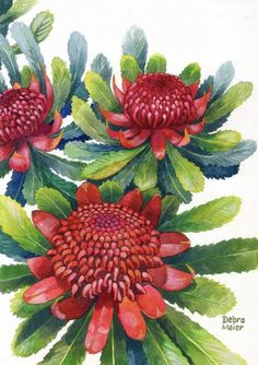 The Queen of all our Australian natives- the Waratah (Telopea speciosissima ) She makes no apology for being big, bold and brassy and neither will I in my painting of this beauty. This Australian native art print has luscious green and blue-tinged leaves that set up a great contrast to the bright and bold red flowers. Australian Wildflowers, Australian Native Flowers, Flower Prints, Flower Art, Waratah Flower, Australian Gifts, Floral Watercolor, Watercolour, Leaf Art