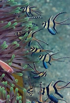 (Pterapogon kauderni) Banggai Cardinalfish, Anemone and Anemone Fish.Banggai Cardinalfish, Anemone and Anemone Fish. Life Under The Sea, Under The Ocean, Sea And Ocean, Pink Ocean, Underwater Creatures, Underwater Life, Ocean Creatures, Fauna Marina, Beneath The Sea