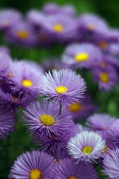 Erigeron praktbinka, 40-60 cm, juni-juli, kan blomma igen om stänglarna skärs tillbaks