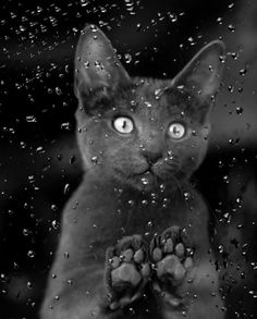 Cat Stares Intently Through a Wet Window