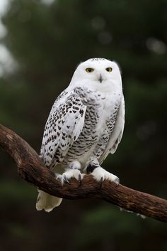Such breath taking birds! Owl Photos, Owl Pictures, Owl Bags, Owl Quilts, Beautiful Owl, Horned Owl, Snowy Owl, Baby Owls, Cute Owl