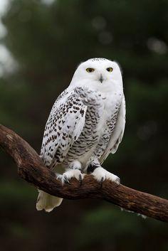 Snowy+Owl | Snowy Owl