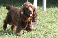 Sussex Spaniel Breed Information, Sussex Spaniel Images, Sussex Spaniel Dog Breed Info Spaniel Breeds, Spaniel Dog, Dog Breeds, Spaniels, Sussex Spaniel, Dogs And Puppies, Doggies, Animals And Pets, Best Dogs
