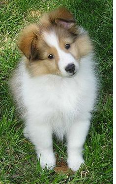 There is not much in this world cuter than a Sheltie puppy.
