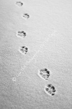 Animal Fine Art Photography  Paw Prints In The Snow