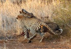 A stealthy leopard stalks its prey in Kruger National Park as witnesses watch on in amazement. Watch the video of the attack here.