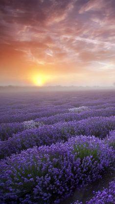 Lavender Sunset ~France