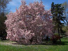 07 -  Magnolia - Magnólia spp  / 31 árvores que você pode plantar em sua calçada. Produzem frutos, sombras e flores. Não destroem calçadas e nem danificam a rede elétrica. ~ Eco Vida - Bom Despacho