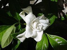 Grown in large pots on your patio,  gardenias  are clean, classy, and smell great too.