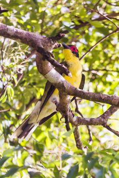 Australasian Figbird - Babinda, QLD, Australia