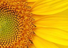 Girassol: a bela e gigante espécie Helianthus annuus tem inflorescências que podem atingir 30 cm de diâmetro. Cultive-a sob sol pleno, em solo fértil e rico em matéria orgânica. Certas variedades toleram meia-sombra, no entanto o caule pode se desenvolver de maneira mais frágil e pode quebrar - mais facilmente - devido ao peso da planta. Apesar de suportar um curto período de seca, faça regas regulares para mantê-la vistosa por mais tempo Getty Images