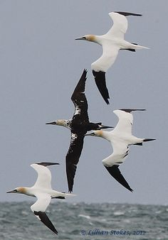 Northern Gannets (photo by Lillian Stokes).