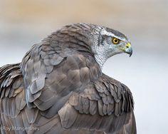 Canada's Threatened Species: Northern Goshawk