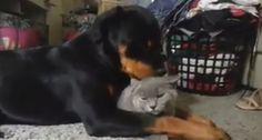 Rottweiler Faz De Gato Um Autêntico Gelado