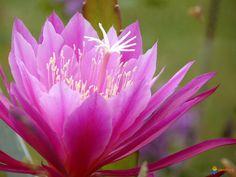 fleur d'épiphyllum mauve