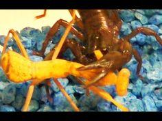 Black Scorpion vs Praying Mantis Spider Killer, Black Widow Spider, Praying Mantis, Scorpion, Scorpio
