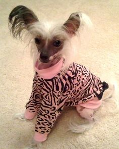 Pet Clothing Shirt Dress Chinese Crested To by paulinesfashions, $23.00