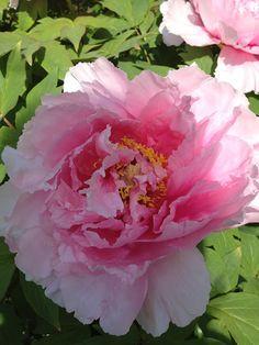 DARIA PEW - Tree Peony Tree Peony, Flowering Trees, Green Wedding, Pretty In Pink, Peonies, Garden Ideas, Rose, Flowers, Plants