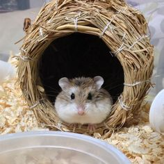 Willow's Great Escape! (Story in comments) #aww #Cutehamsters #hamster #hamstersofpinterest #boopthesnoot #cuddle #fluffy #animals #aww #socute #derp #cute #bestfriend #itssofluffy #rodents