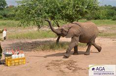 Die kleinen Elefanten könnnen ihre Milchflasche kaum erwarten. Nairobi, Elephant, Animals, 3 Year Olds, Elephants, National Forest, Animales, Animaux, Animal