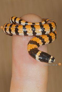 Desert banded snake (Simoselaps anomalus)