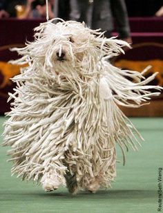 Not fun keeping dreads when on the ranch so we kept her cut rather short for the most part. Komondor