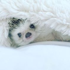 car sez: SALE! Buy a pillow get a Free Hedgehog!   africanpygmyhedgehog #hedgehogazuki