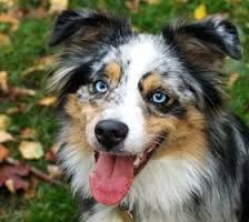 toy australian shepherd blue merle - Google Search