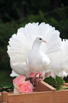 Pigeon Pictures, Dove Pictures, Beautiful Pictures, Pretty Birds, Beautiful Birds, Animals Beautiful, Beautiful Flowers Wallpapers, Beautiful Nature Wallpaper, Pet Pigeon