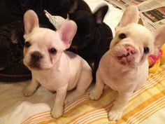 Luna & Jax, French Bulldog Puppies