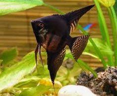 Resultado de imagen para peces escalares