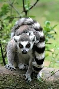 7cd30e95f5bc Image Search Results for madagascar lemurs Lemurs